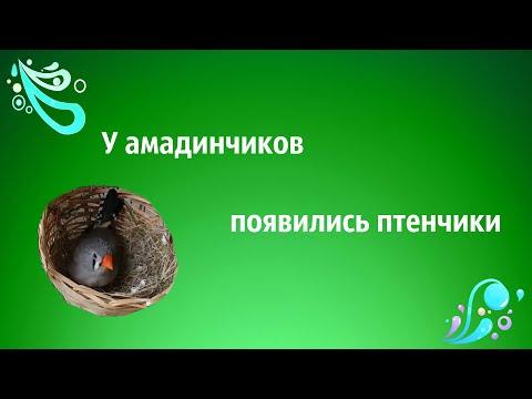 Содержание амадинов в домашних условиях видео