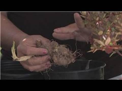 Flower Gardening : How to Plant Dahlia Bulbs