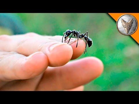 Free Handling Bullet Ants?!