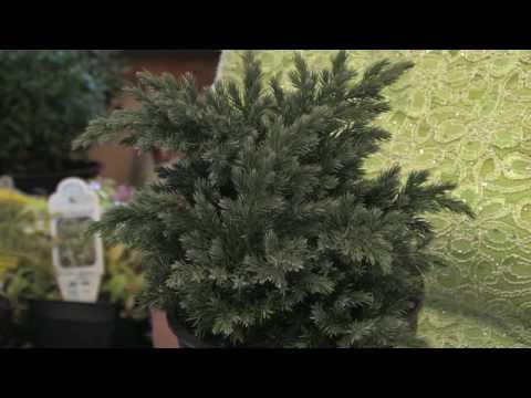 Flower Gardening Tips : How to Grow Juniper (Juniperus)