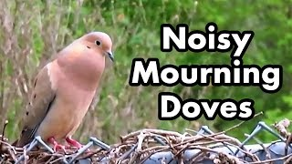 Mourning Doves Make Noise - Mourning Dove Sounds