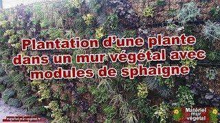 Plantation d'une plante dans un module de sphaigne