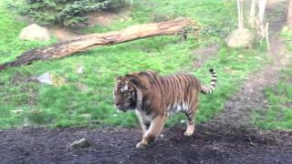 Dublin Zoo wake up call - tiger fight full download video download mp3 download music download