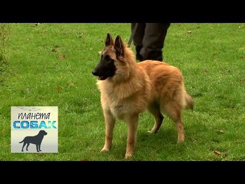 Бельгийская овчарка Тервюрен. Планета собак