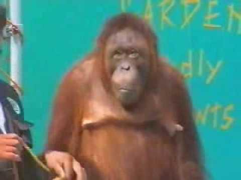 Chú khỉ thiên tài