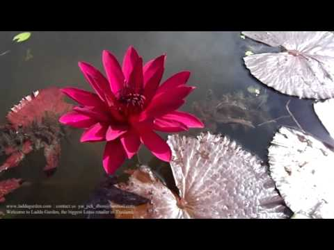red fair waterlily