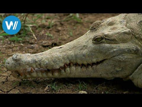 Die letzten Krokodile Venezuelas (360° - GEO Reportag ...