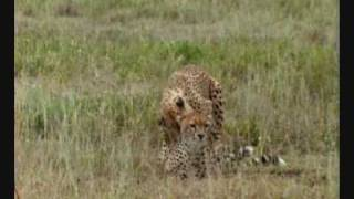 Cheetah mating