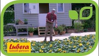 Sunray – die neue kompakte Sonnenblume von Burpee Europe