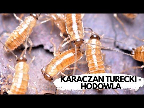 Jak hodujemy karmówkę? KARACZAN TURECKI | arent.pl