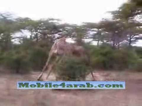 你有看過長頸鹿打架嗎?超兇猛的阿!!
