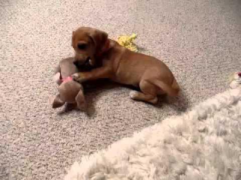 Buddy..Beagle Chihuahua cutie pie!!