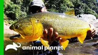 Searching For The Golden Dorado In The Rivers Of Bolivia | Fish or Die by Animal Planet
