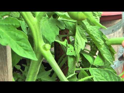 Comment enlever les gourmands et tailler ses tomates. Jardin de Balgan (HD)