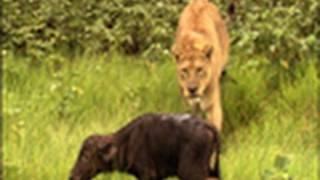 Video Surprise Kill -The Last Lions Deleted Scenes   National Geographic MP3, 3GP, MP4, WEBM, AVI, FLV Oktober 2017