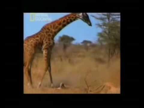 leonas atacan a cria de jirafa