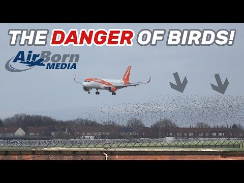 Potential Multiple Bird Strike - Easyjet A320 Just Yards From Huge Flock At Manchester Airport