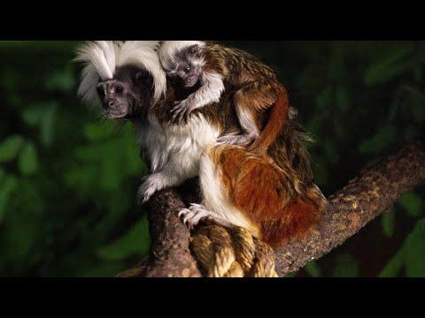Mexiko: Nachwuchs bei den Lisztaffen im Zoo