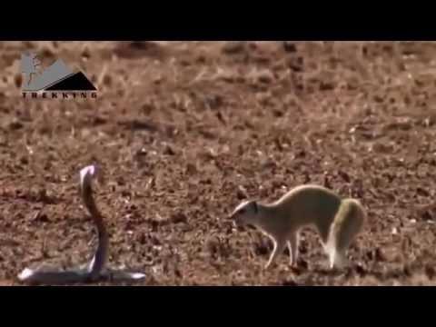 Đại chiến giữa Gia đình Chồn và Rắn Hổ Mang