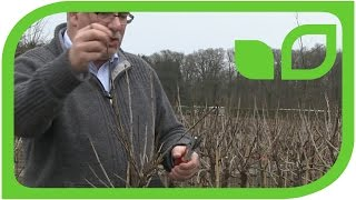 Pruning Tips for Currant Standart Trees