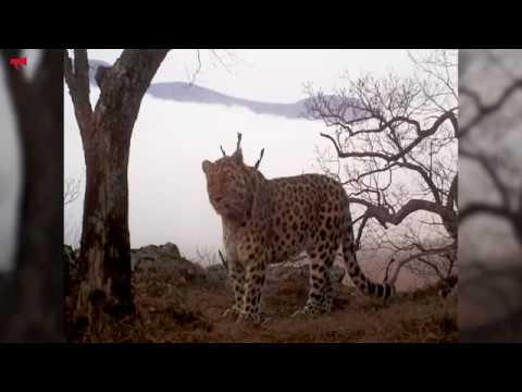 Дальневосточных леопардов стало больше в Приморье - DomaVideo.Ru