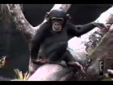 Con khỉ bá đạo nhất tui từng thấy !! Móc đ*t ngửi xong té xỉu