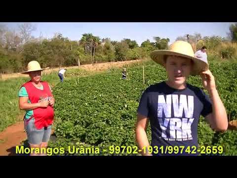 Urânia - Conheça o Turismo Rural de Urânia, Morangos, Uva e Orquidário para uma agenda de final de semana.