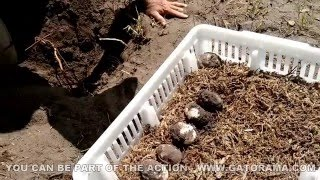 Crocodile Nest Hunt and Egg Collection