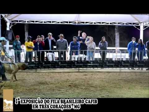 Exposição do Fila Brasileiro em Tres Corações-MG/ Prova de Temperamento Final