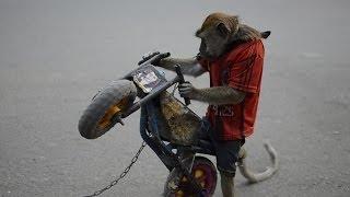 Video Monkey Riding a Motorcycle in Jakarta Indonesia | Velvet Culture MP3, 3GP, MP4, WEBM, AVI, FLV Juni 2017