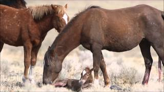 Video Wild horse filly just born in the Pine Nut Mountains of Northern Nevada MP3, 3GP, MP4, WEBM, AVI, FLV Agustus 2019
