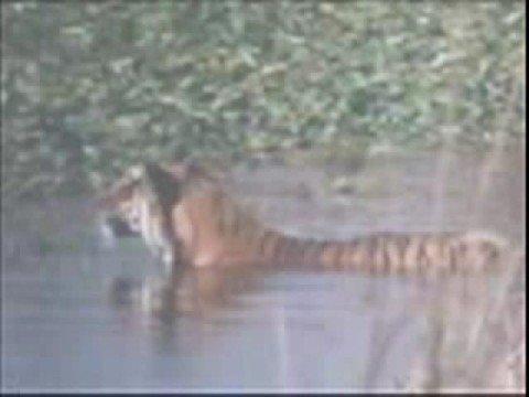 0 Tiger Vs Croc