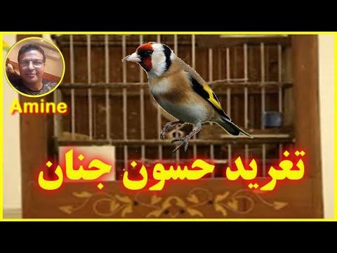 JILGUERO DE JENNANE AMINE CASABLANCA