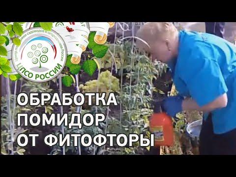 Как бороться с фитофторой на томатах. Обработка томата от грибковых заболеваний.