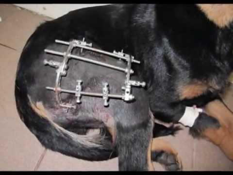 Перелом бедренной кости у собаки