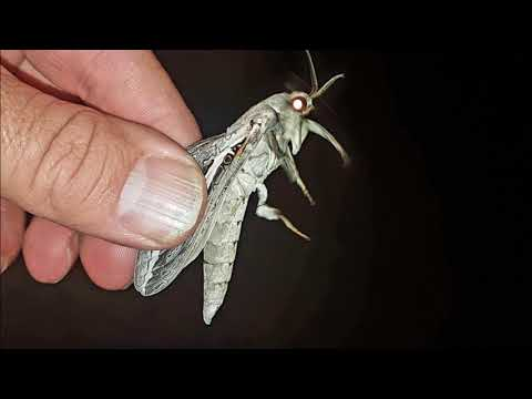 Bardi grubs rain moths and trout cod
