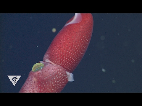Strawberry Squid with Crazy Eyes