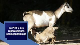 Campaña para la erradicación de la Peste de los Pequeños Rumiantes