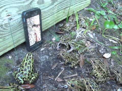 手機螢幕播放昆蟲影片,吸引挨餓青蛙群!