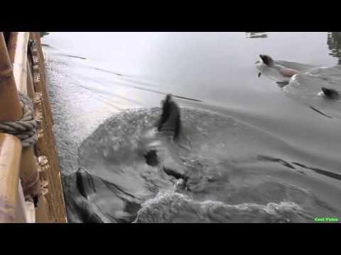 Стая морских котиков преследует корабль