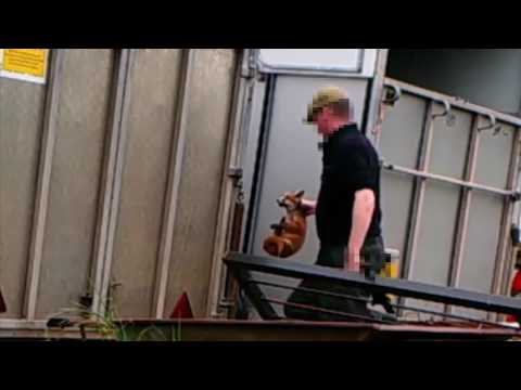 國外獵犬打獵訓練曝光 竟是讓牠們獵殺....