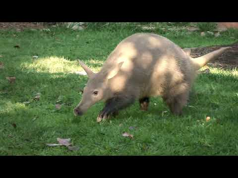 Can You Dig It? Meet Zola The Aardvark