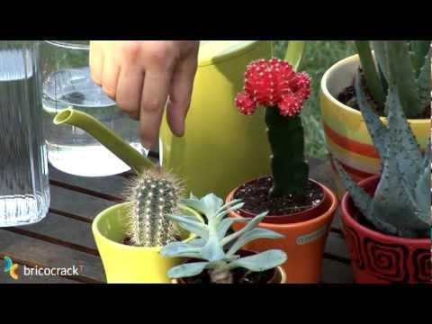 Cuidar cactus y plantas crasas (BricocrackTV)