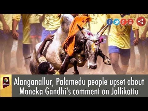 Alanganallur-Palamedu-people-upset-about-Maneka-Gandhis-comment-on-Jallikattu