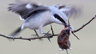Video Great Grey Shrike tears the prey on the needle. Lanius excubitor. MP3, 3GP, MP4, WEBM, AVI, FLV Agustus 2018