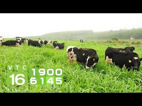 Dự án trồng cỏ nuôi bò lớn nhất Việt Nam | VTC16 - Thời lượng: 2 phút, 14 giây.