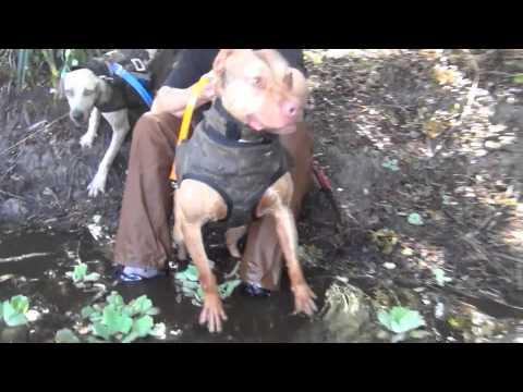 Hog Dog Hunting South Fl.
