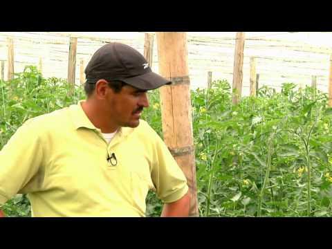 Escuela de Campo: Manejo de un cultivo de tomate bajo invernadero - 11 de octubre