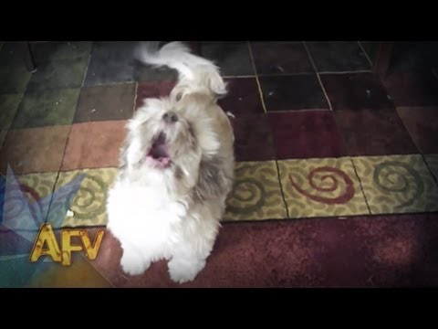 Cody The Screaming Dog | Dog | AFV