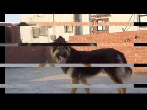 تدريب - تدريب كلب بلجيكي علي الطاعه والشراسه.